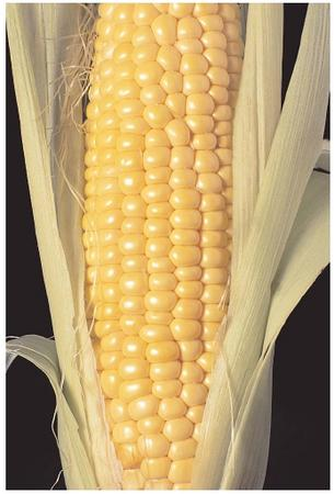 In the early twentieth century, hundreds of thousands of people in the southern United States suffered from pellagra, a serious disease that affects people whose diet does not include enough niacin. Pellagra occurs in cultures that depend on corn as a dietary staple, because the niacin in corn is difficult to digest and is often removed during processing. [Photograph by Ed Bohon. Corbis. Reproduced by permission.]